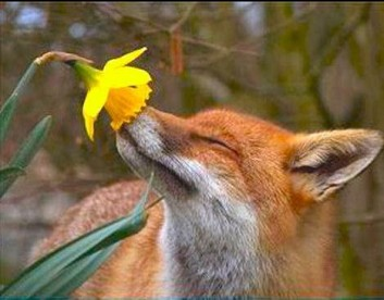 fox2bsmelling2bflower